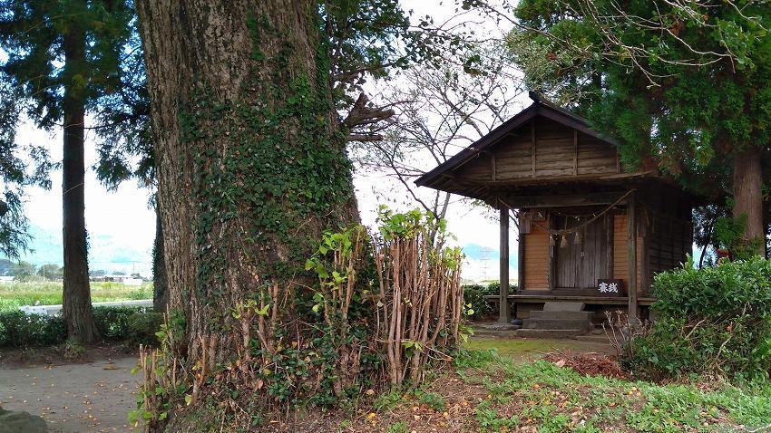 観音寺 いちょうの木